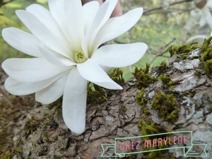 Magnolia stelata (2)