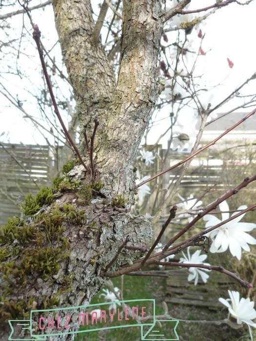 Magnolia stelata (3)