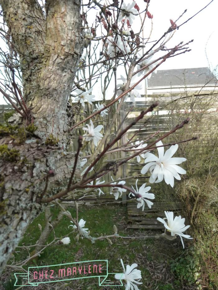 Magnolia stelata (4)