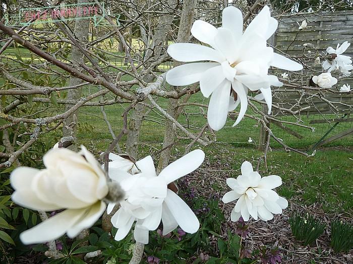 Magnolia stelata (5)