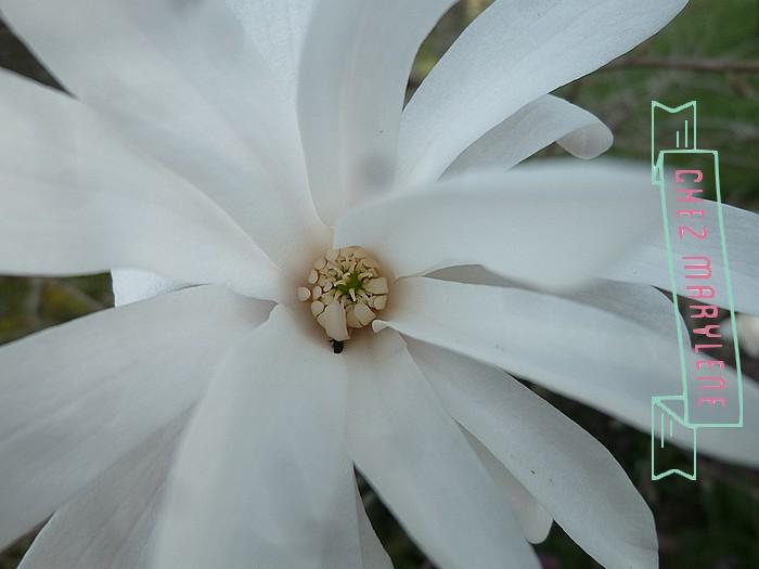 Magnolia stelata (7)