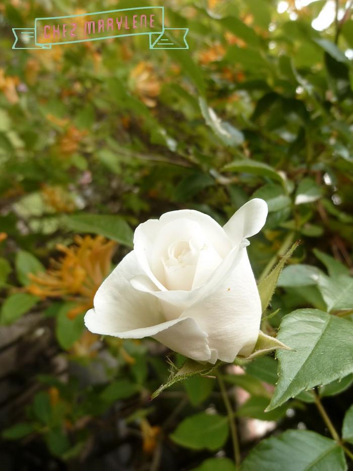 jardin blanc 4