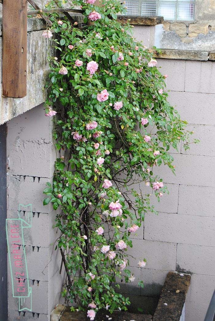 rosier grimpant (1)