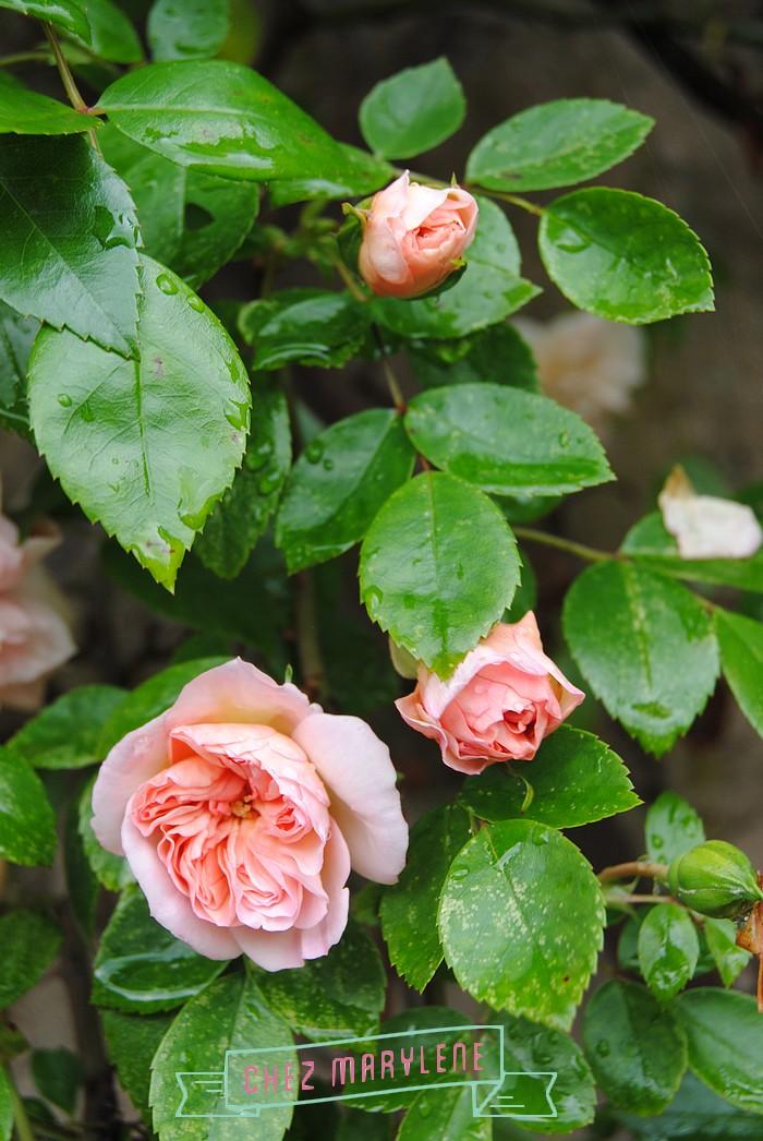 rosier grimpant (4)