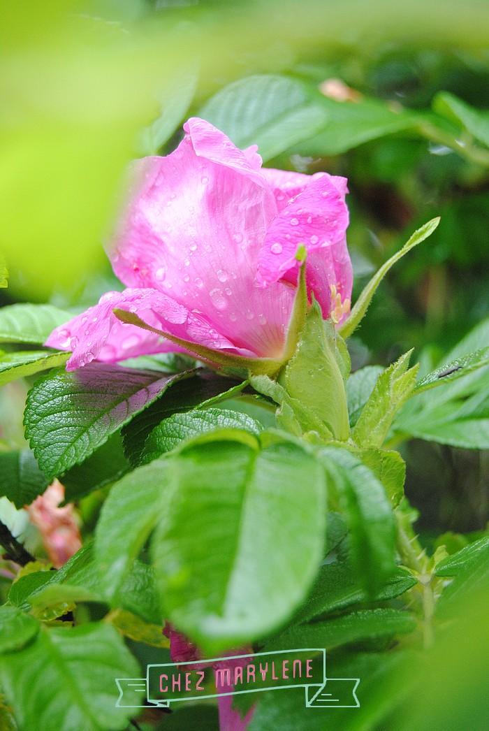 rosier sauvage (2)