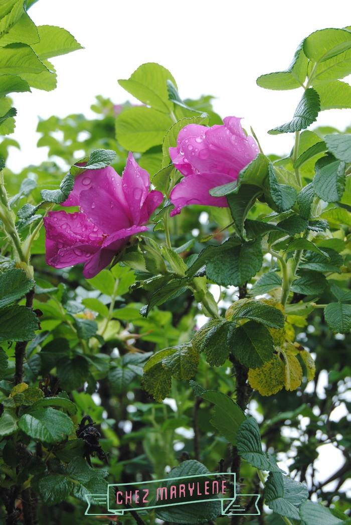 rosier sauvage (3)