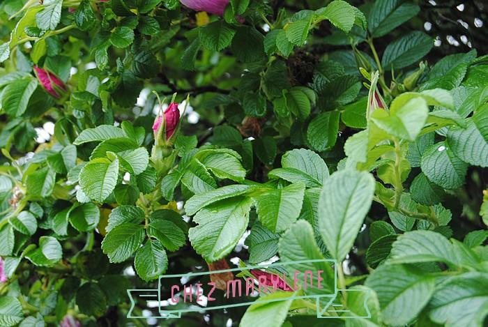 rosier sauvage (6)