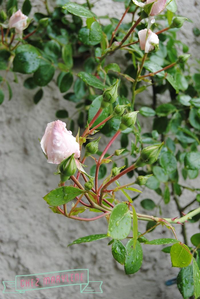 rosiers-06 (2)
