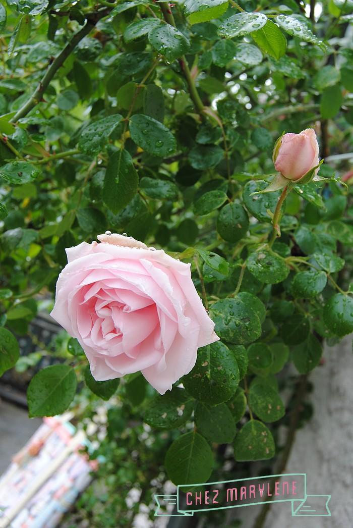 rosiers-06 (3)