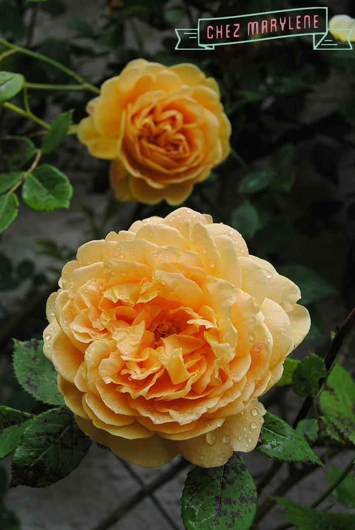 rosiers-06 (4)