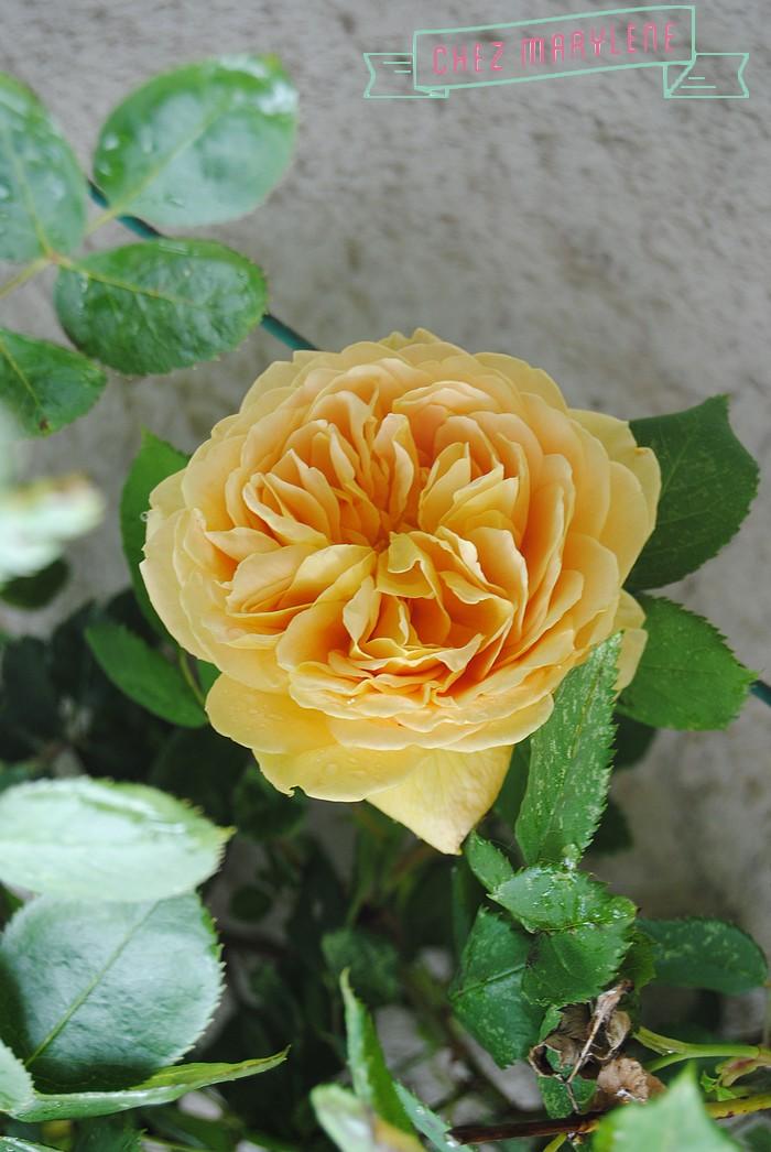 rosiers-06 (5)