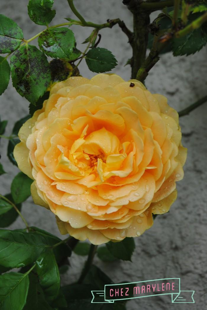 rosiers-06 (6)